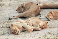 Junge Löwin, die auf der afrikanischen Savanne stillsteht und schläft Lizenzfreie Stockfotos