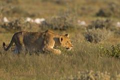 Junge Löwin, die ihr Opfer anpirscht Stockfoto