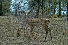 Junge männliche Impala, Aepyceros melampus, gorongosa Nationalpark, Mosambik Lizenzfreie Stockfotografie