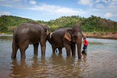 Junge Mahoutjungenstellung im Flottenfluß mit zwei Elefanten Luang Prabang, Laos stockfotografie