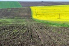 Junge Mais-Reihen Stockfotografie