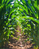 Junge Maisfeldreihe stockfotografie