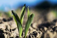 Junge Maispflanze 004-130509 Stockfoto