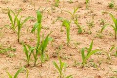 Junge Maispflanze Trocknen Sie Feld mit Mais Aufwartung des Regens Landwirtschaftlicher Bauernhof unkraut stockbild