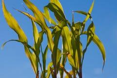 Junge Maispflanzen stockfotografie