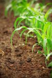 Junge Maispflanzen lizenzfreie stockbilder
