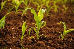 Junge Maispflanzen lizenzfreie stockfotografie