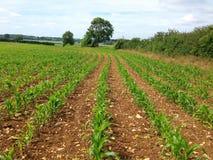 Junge Maispflanzen, die auf einem Bauernhofgebiet wachsen Lizenzfreie Stockfotos