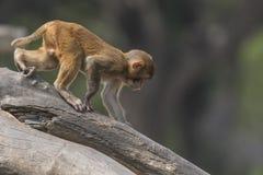 Junge Makaken Lizenzfreie Stockfotografie