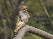 Junge Makaken Lizenzfreies Stockbild