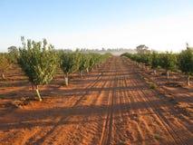 Junge Mandelbäume Lizenzfreies Stockbild
