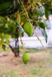 Junge Mangofrucht auf einem Mangobaum Stockfotografie