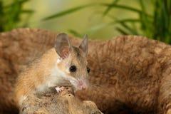 Junge Maus der Nahaufnahme sitzt auf Baumstumpf auf Hintergrund des Grases Stockfotografie