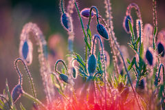 Junge Mohnblumenköpfe Stockfoto