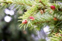 Junge Niederlassung des Weihnachtsbaums mit frischem Lizenzfreie Stockfotografie