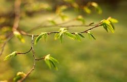 Junge Niederlassungen des Baums mit grünen frischen Blättern Lizenzfreie Stockfotografie