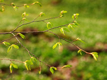 Junge Niederlassungen des Baums mit grünen frischen Blättern Stockfoto