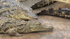 Junge Nile Crocodiles, die im Schmutz sich sonnt stock footage