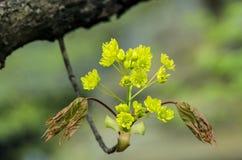 Junge Norwegen-Ahornblüte Stockfotografie