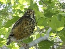 Junge- oder Schätzchenrotkehlchen im Baum Stockfoto