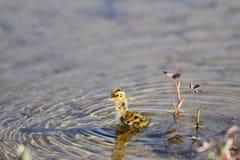 Junge Odinshühnchenschwimmen im Wasser Stockfotos