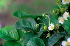 Junge organische Erdbeerfrüchte und -anlagen auf dem wachsenden Gebiet stockbilder