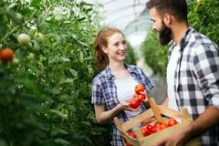 Junge Paare, die Gemüse bewirtschaften stockbilder