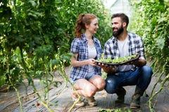 Junge Paare von den Landwirten, die im Gewächshaus arbeiten stockbilder