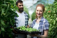 Junge Paare von den Landwirten, die im Gewächshaus arbeiten lizenzfreie stockbilder