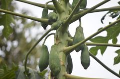 Junge Papayafrucht, die noch am Baum hängt lizenzfreie stockfotos