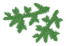 Junge Pelzbaum Zweige Stockfotografie