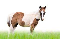 Junge Pferde, die auf weißem Hintergrund schauen Lizenzfreies Stockbild