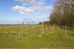 Junge Plantage in den Yorkshire-Wolds Stockfoto