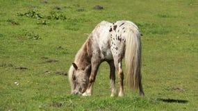 Junge Pony Horses Graze And Relax auf grünen Feldern stockfotos