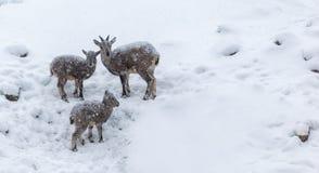 Junge-RAMs unter dem Schnee Stockbild