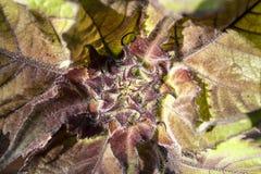 Junge raue Knospe und Blätter der Sonnenblume Lizenzfreies Stockfoto