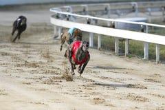 Junge reinrassige Windhunde, die auf dem Rennen laufen Lizenzfreie Stockfotos