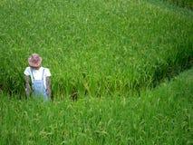 Junge Reispflanze auf dem Reisgebiet Stockfotografie