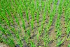 Junge Reispflanze auf dem Reisgebiet Stockbild