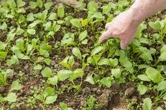 Junge Rettichanlagen mit der Hand des älteren Gärtners Permaculture lizenzfreie stockfotografie