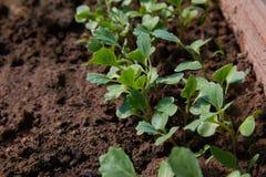 Junge Rettiche im Boden im Garten lizenzfreies stockbild