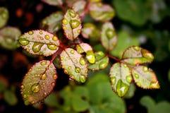 Junge Rosen-Blätter - Horticult stockfotos
