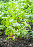 Junge Rote-Bete-Wurzeln Blätter Stockfoto
