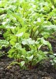 Junge Rote-Bete-Wurzeln Blätter Stockfotos
