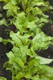 Junge Rote-Bete-Wurzeln Blätter Stockbild
