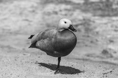 Junge rote Ente auf einem Bein nahe einem See Lizenzfreie Stockfotos