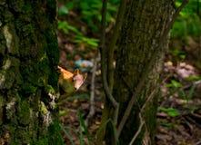 Junge rothaarige Eichhörnchenheimliche blicke von hinten einen Baumstamm maserten Braun Stockbild
