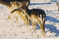 Junge Rotwild, die im Winter in der Einschließung im Freien sich küssen Lizenzfreie Stockfotografie