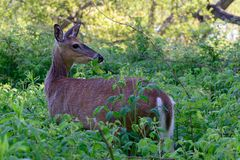 Junge Rotwild im Wald, den er sich zurück und oben gestochen seinen Ohren dreht Lizenzfreies Stockbild