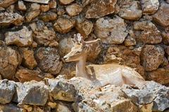 Junge Rotwild mit Hörner barhotnymi, das unter den Felsen liegt Lizenzfreie Stockfotografie
